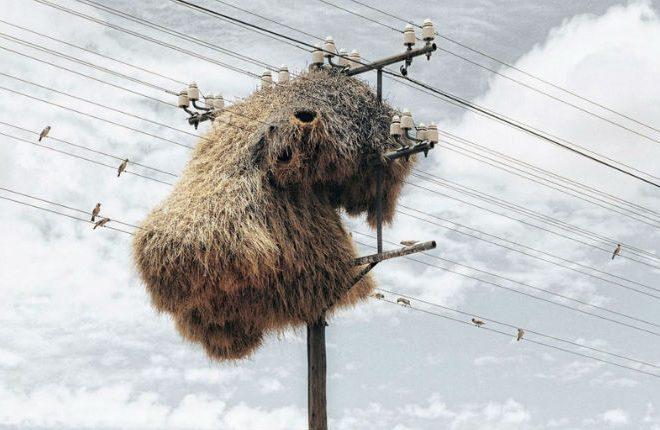 Sociable weaver bird nests colonise telephone poles: Kalahari