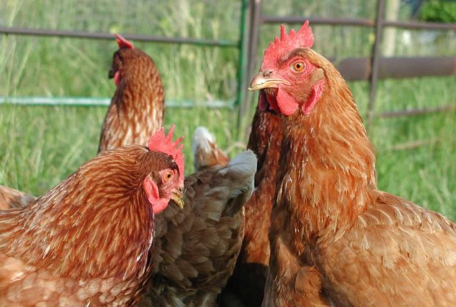 Ethiopian research: Smell of chicken could help in fight against malaria