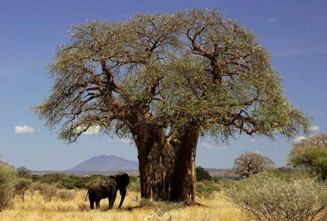 The mainstreaming of Africa's tree of life