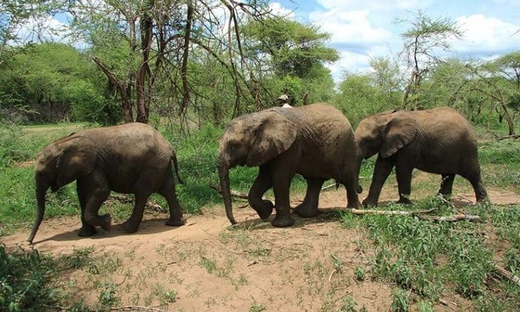 Why is the Botswana government denying the large scale of elephant poaching in the country?