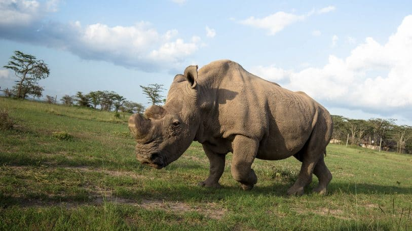Hope for the revival of the Northern White Rhino