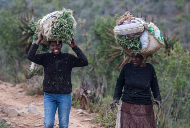 """""""People feel betrayed"""": small-scale dagga growers fear exclusion from legal trade"""