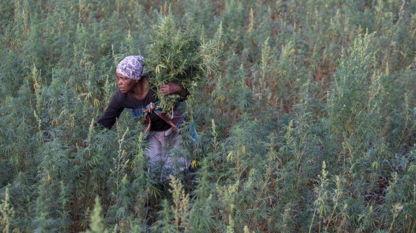 South Africa: Legalisation is killing our market, say small-scale dagga growers