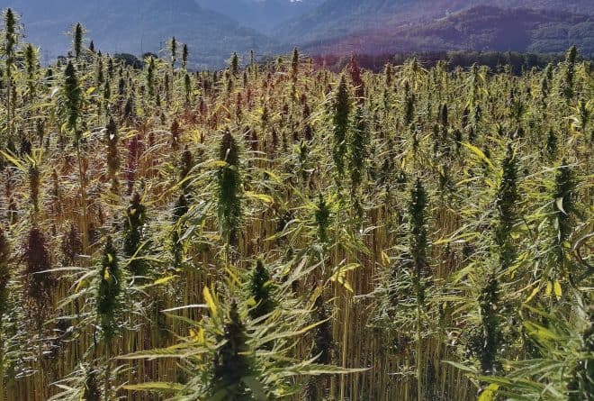 Zimbabwean company sows the country's first legal crop of hemp